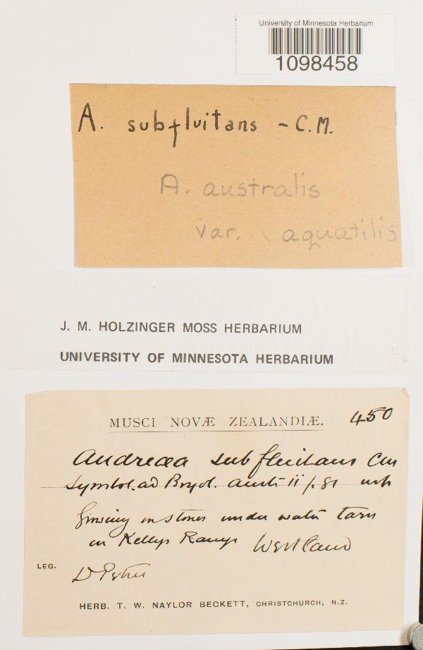 Andreaea australis var. aquatilis image