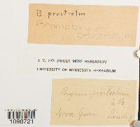 Anomobryum prostratum image