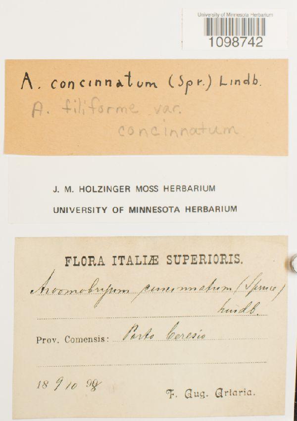 Anomobryum filiforme var. concinnatum image