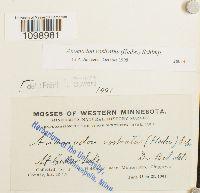 Anomodon rostratus image
