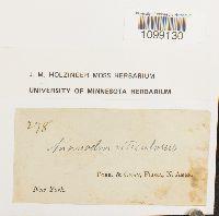 Anomodon viticulosus image