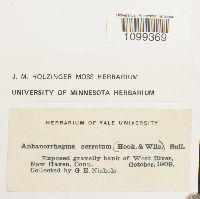 Aphanorrhegma serratum image