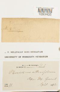 Archidium alternifolium image