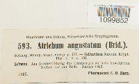 Atrichum angustatum image