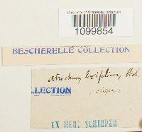Atrichum laxifolium image