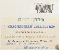Image of Atrichum laxifolium