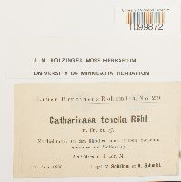 Atrichum tenellum image