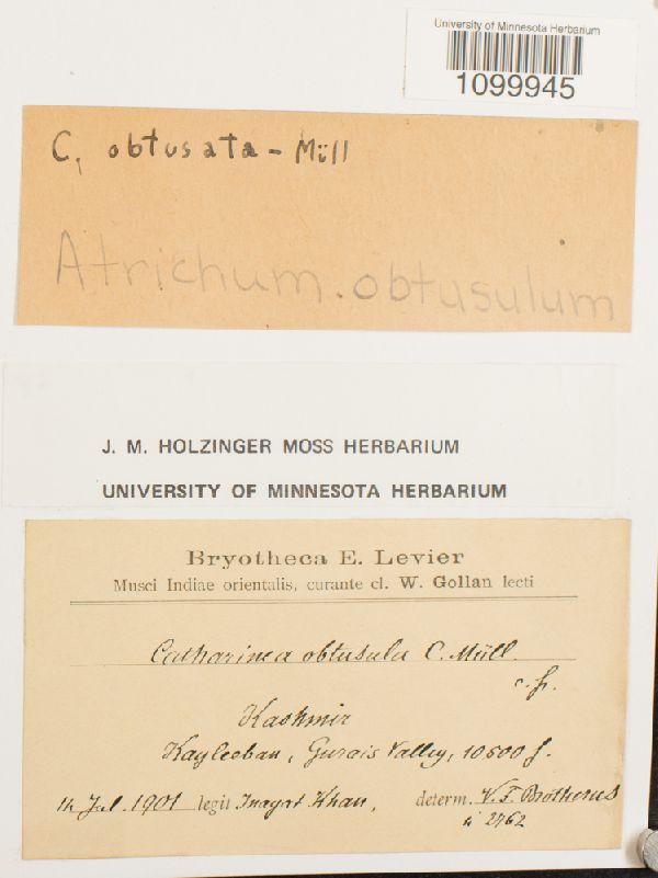 Atrichum obtusulum image