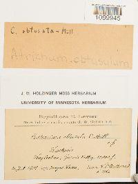 Image of Atrichum obtusulum