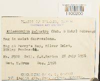 Aulacomnium palustre image