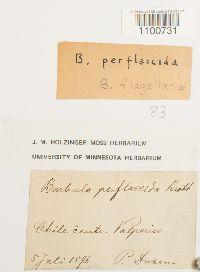 Syntrichia flagellaris image
