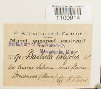 Barbula latifolia image