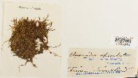 Anomodon rugelii image