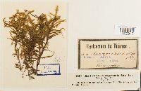 Antitrichia curtipendula image