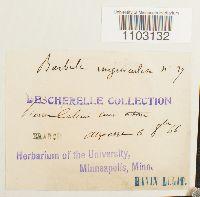 Barbula unguiculata image