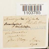 Brachydontium trichodes image