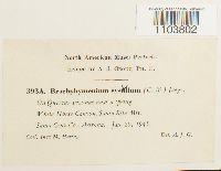 Brachymenium systylium image