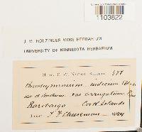 Brachymenium indicum image