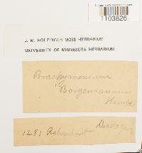 Brachymenium acuminatum image