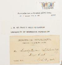 Brachythecium oedipodium image