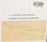 Brachythecium acutum image