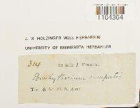 Brachythecium campestre image