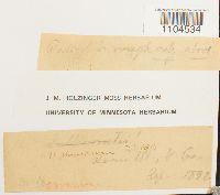 Brachythecium plumosum image