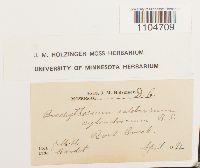 Brachythecium rotaeanum image