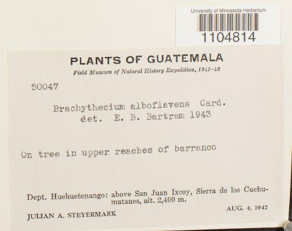 Brachythecium alboflavens image