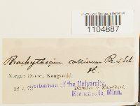 Brachythecium collinum image