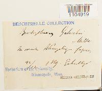 Brachythecium geheebii image