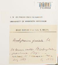Brachythecium glaciale image