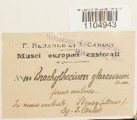 Brachythecium glareosum image