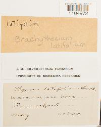Brachythecium nelsonii image