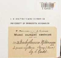 Brachythecium mildeanum image
