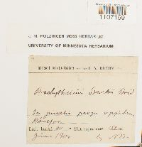 Brachythecium starkii image