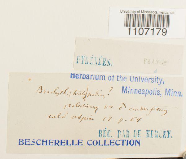 Brachythecium trachypodium image