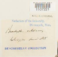 Brachythecium velutinum image