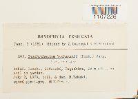 Brachythecium buchananii image