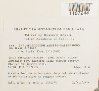 Image of Brachythecium austrosalebrosum