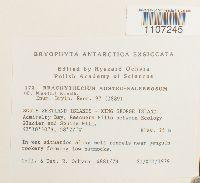 Brachythecium austrosalebrosum image