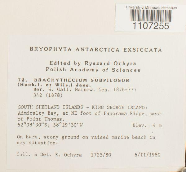 Brachythecium subpilosum image