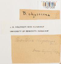 Breutelia chrysocoma image