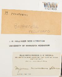 Brotherella recurvans image