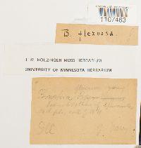 Bruchia flexuosa image
