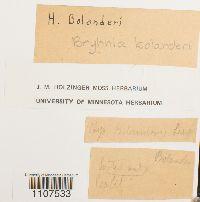 Brachythecium bolanderi image