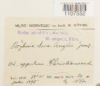 Bryhnia novae-angliae image