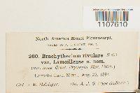 Brachythecium rivulare image