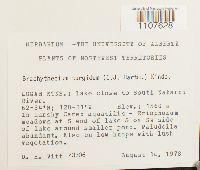 Brachythecium turgidum image