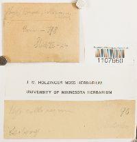 Brachythecium fendleri image